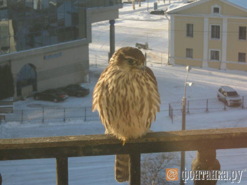 Читатель: на петербургский балкон залетела хищная птица - го.