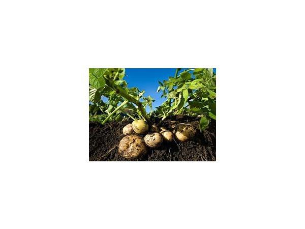 Картошка-фри, картошка-пай, картошка... из пробирки