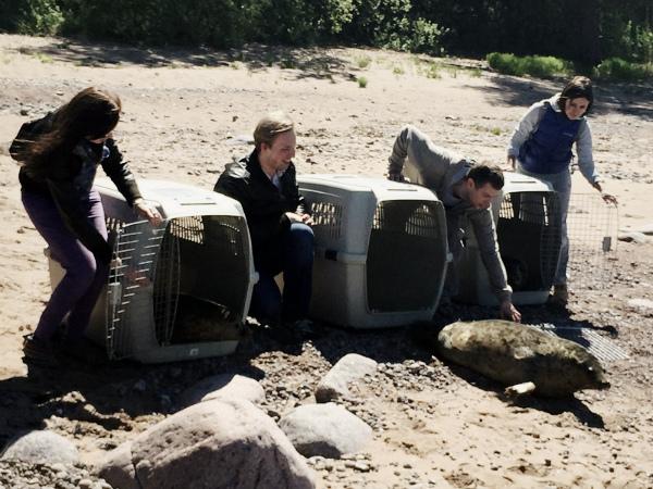 Троих тюленят выпустили в Финский залив после реабилитации