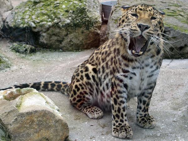 В Петербурге есть даже миллиардер с леопардом