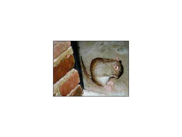 Крысы, клещи, собаки и нелегальные мигранты...