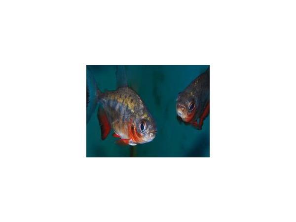 Моя прекрасная пиранья, или Рыбка с хорошим аппетитом