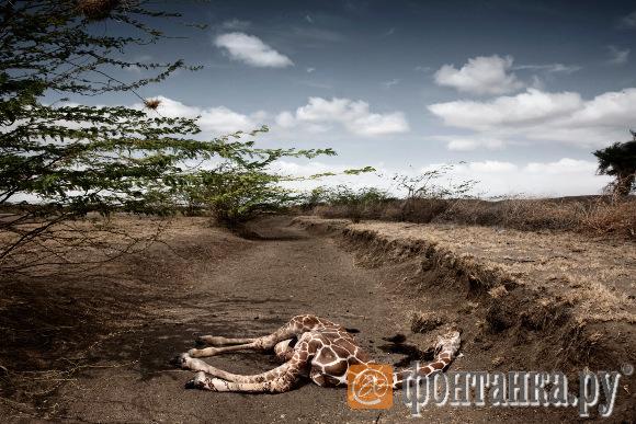 """Стефано Де Луиджи (Италия). Второй приз в категории """"Актуальные проблемы"""": Жираф, погибший от засухи в Кении"""