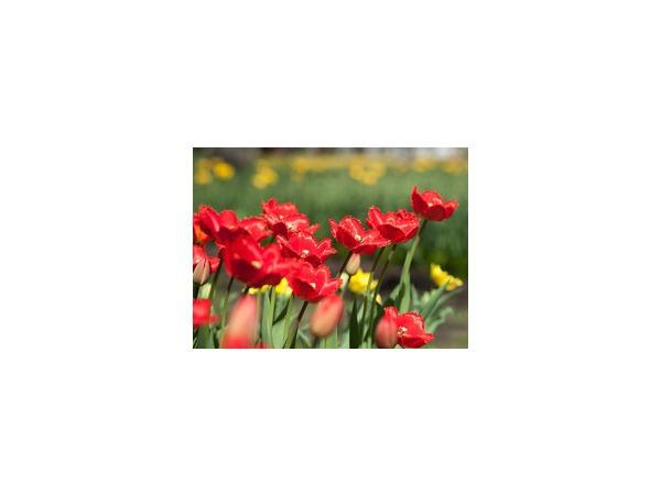 Елагин остров решил догнать и перегнать тюльпановую Голландию