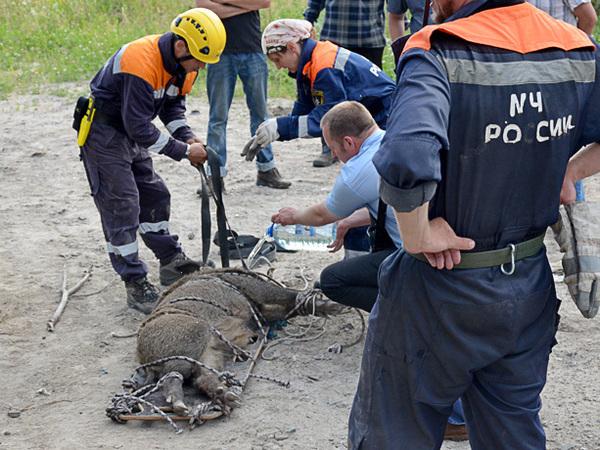 В Приморском районе спасли дикого кабана Борю