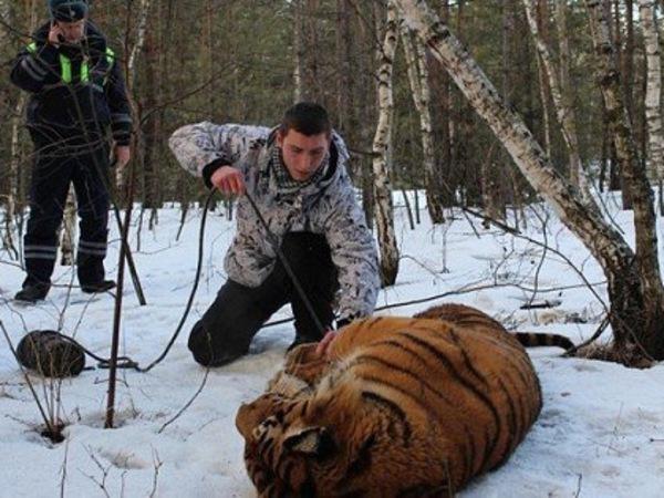 В Воронеже поймали бегавшего по улицам тигра