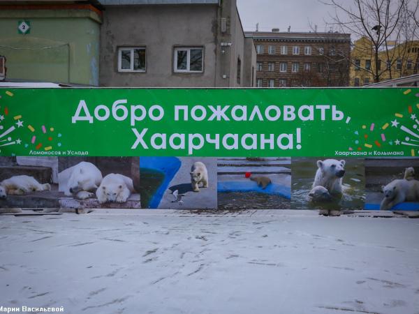 Белый медвежонок Снежинка переехала в Ленинградский зоопарк
