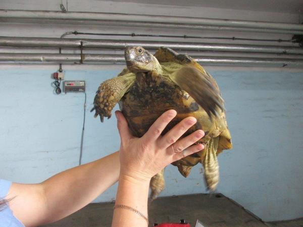 Из Петербурга на море отправили 36 черепах