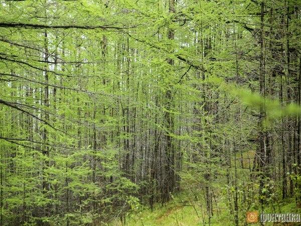 Минприроды потеряло счет лесу