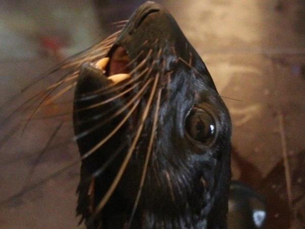 Эксперимент «Фонтанки»: как спастись от морского котика из Купчино