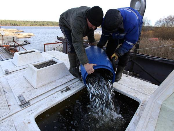 Строители наполнили Ладогу лососевыми