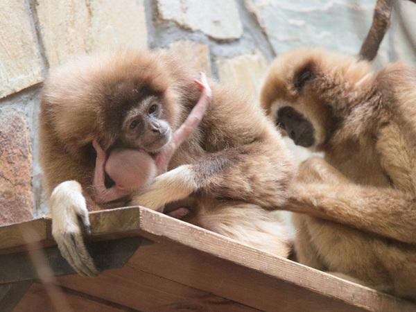 В Петербурге мама-гиббон прячет от посетителей зоопарка новорожденного малыша