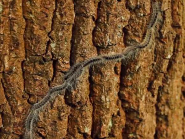 Ядовитые гусеницы готовятся к атаке на Лондон