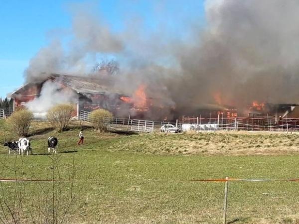 Во время пожара на финской ферме погибли 60 коров
