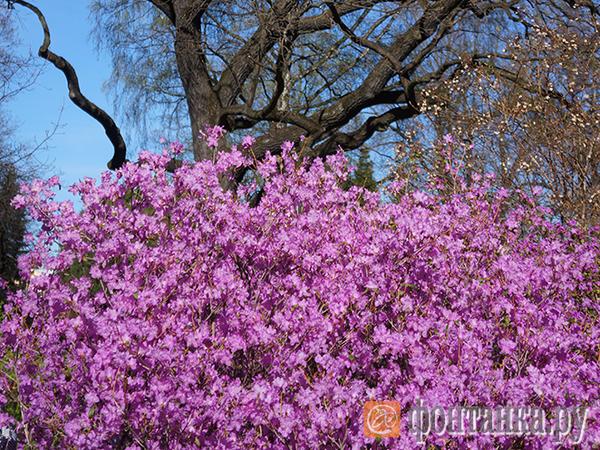 Весна - Петербург цветет и пахнет