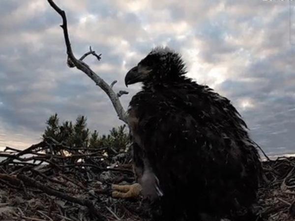 В Финляндии запустили онлайн-трансляцию из гнезда орлана